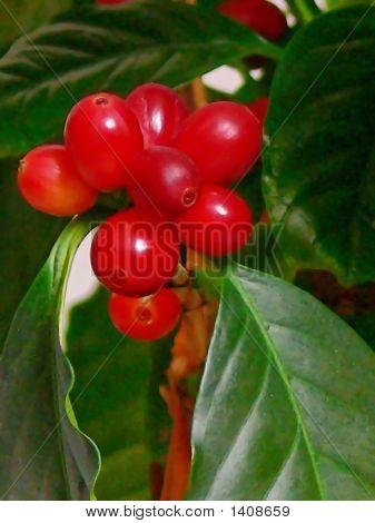 Coffee Beans  50814.