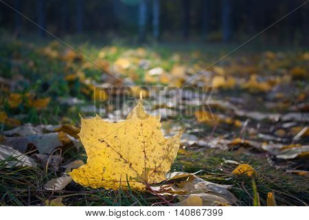 Yellow maple leaf in the sunlight in autumn