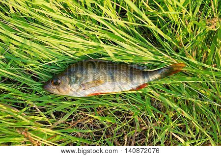 caught perch lying on the green grass
