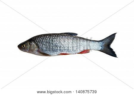 chub fish isolated on a white background