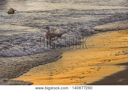 Seagull on the seashore against waves. Waves and seagull. Seagull in the waves.