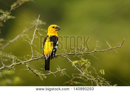 Southern Yellow Grosbeak at the morning, at the coast of Ecuador