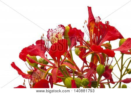 Flowering Delonix Regia