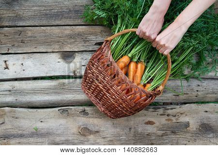 Top view, flat lay of human hands holding a wicker basket with fresh carrots with green leaves over rustic weathered wooden background