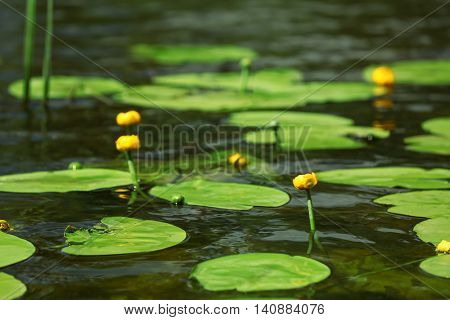 Beautiful water lily on the pond