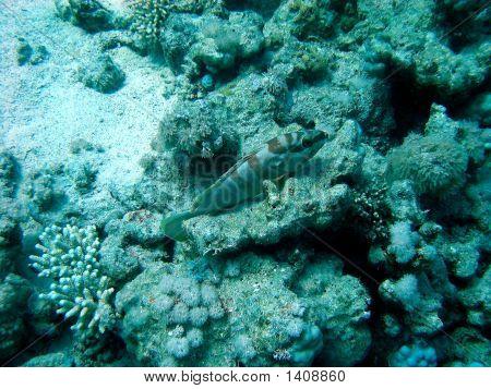 Blacktip Grouper