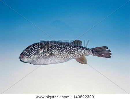 one Blowfish spots