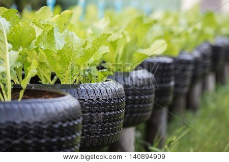Recycle Of Tire Used In Organic Vegetable Farm