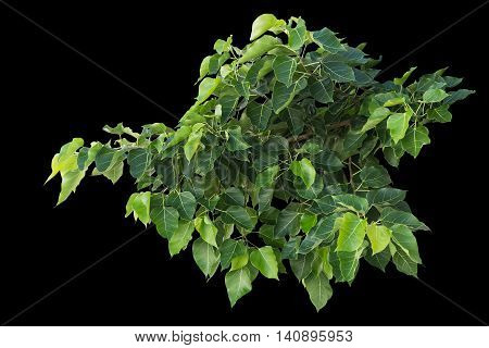 Green Bodhi Or Pho Leaf On Tree Isolated On Black. Saved With Clipping Path