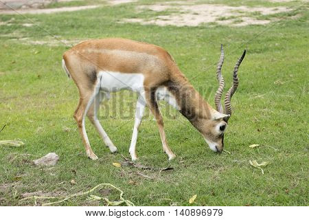 Black buck looking for something in the park