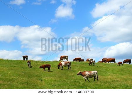 Cows grazing on the hill poster