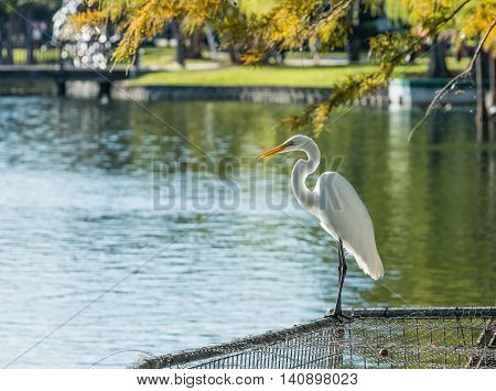 Animals in Wildlife - White Egrets on lake Eola Orlando Florida
