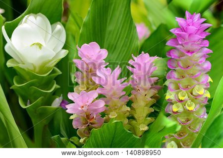 Fancy Siam Tulip or Summer Tulip (Curcuma alismatifolia) in tropical botanical garden.