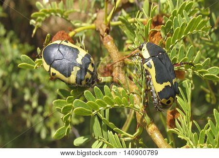 Black And Yellow Fruit Beatles, Eating Flower