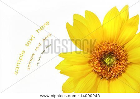 Big yellow sunflower against white background poster