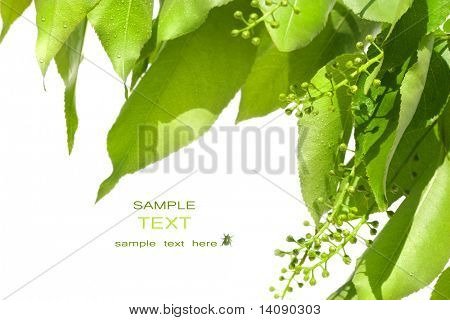 Summer green leaves isolated on white background poster