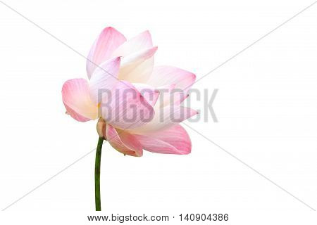 Beautiful Pink Lotus Flower Isolated On White. Saved With Clipping Path (lotus Used To Worship)