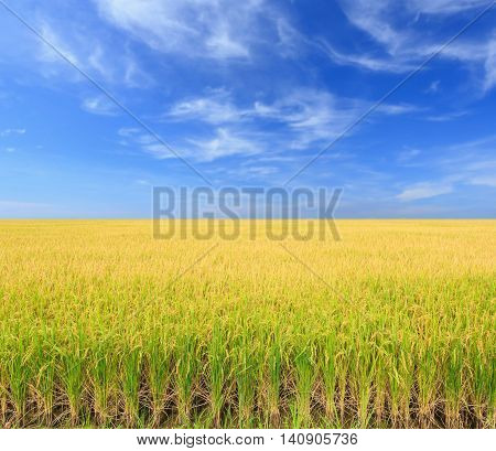 Rice Plant. Yellow Rice Field In Nakhon Pathom Province