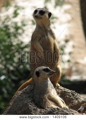 Meerkats On Patrol