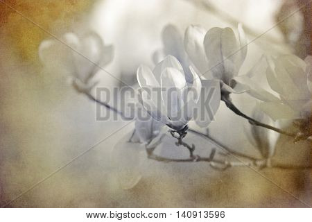 white colored blooming magnolias with added beige paper texture
