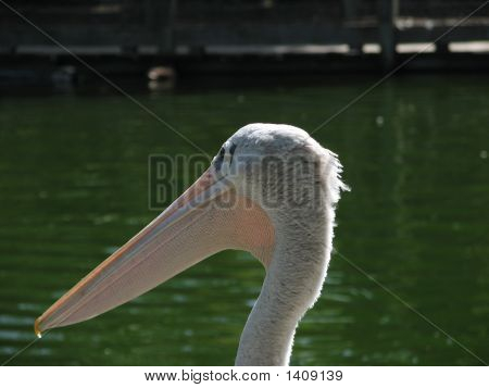 Head Of Pelican