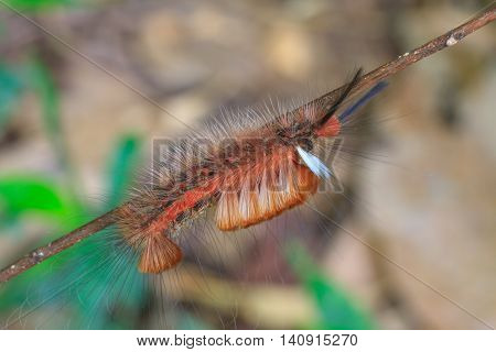 Hariry Caterpillar, Close Up Caterpillar In Tropical Forest