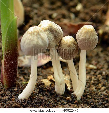 Little mushroon found on moist land in rainny season.