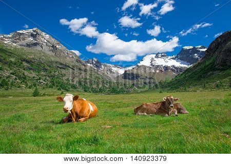 Cows Grazing In The High Mountains On The Swiss Alps