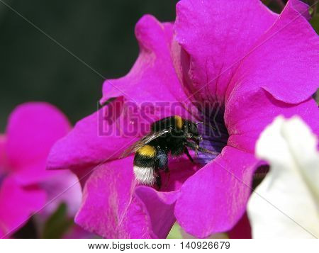 The bumblebee collects nectar and pollen. Bumblebee useful and beautiful insect