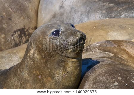 Elephant seal looking up at Saint Andrew's Bay in South Georgia