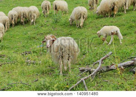 sheep grazing in Bracciano lake - Italy