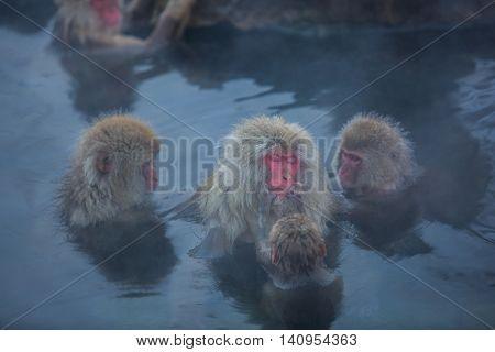 Snowmonkey Snow Monkey in hot water at Jigokudani Onsen in Nagano Japan.