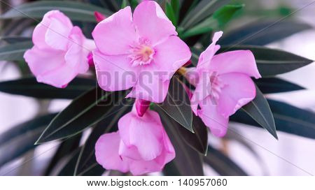 bush with pink flowers oleander grows in the park, nature