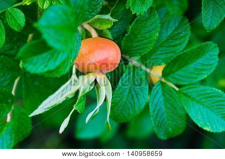 ripe orange berries of wild rose on a bush close up