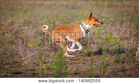 Coursing. Basenji Dog Running On The Field