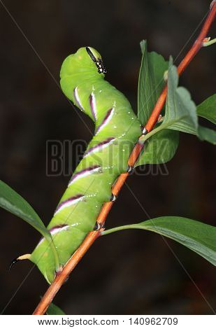 Privet Hawk-moth caterpillar eating in natural garden environment