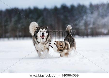 two dogs breed Alaskan Malamute walking in winter forest