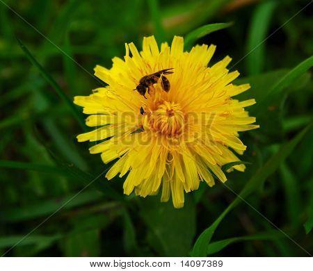 yellow flowers and honey-bee