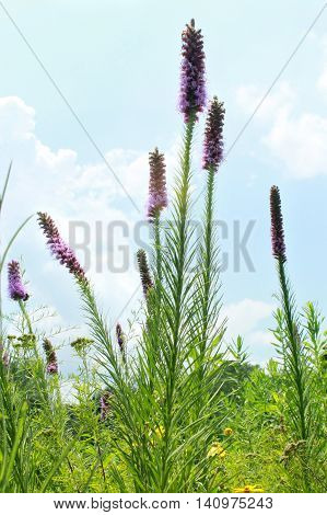 The native midwest USA wildflower Prairie Blazing Star Liatris pycnostachya grows in a Missouri field viewed low overlapping the blue sky.