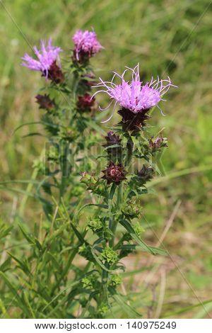 The purple wildflower Prairie Coreopsis Coreopsis Palmata grows wild in a midwestern USA field