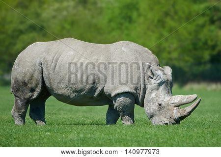 White rhinoceros (Ceratotherium simum) in sunshine eating grass in its habitat