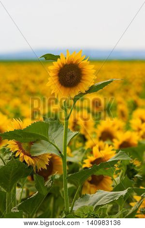 Summer sun over the sunflower field. Romania