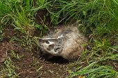 Snarling North American Badger (Taxidea taxus) - captive animal poster