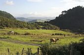 Peaceful green countryside with cows on the North Island of New Zealand near Rotorua poster