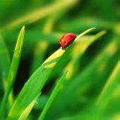 Ladybird on grass blade poster