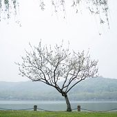Peach trees blossoming in the mist by the Xi Hu lake in China poster