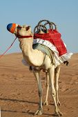 Decorated Camel In Desert for Tours and Rides poster