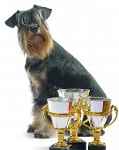 Zwergschnauzers isolated on white with awards poster