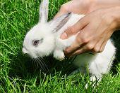 Little white rabbit in human hands above green grass poster
