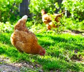 Hens walking on green rural yard poster